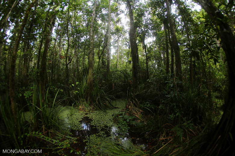 Peat swamp in Malaysian Borneo