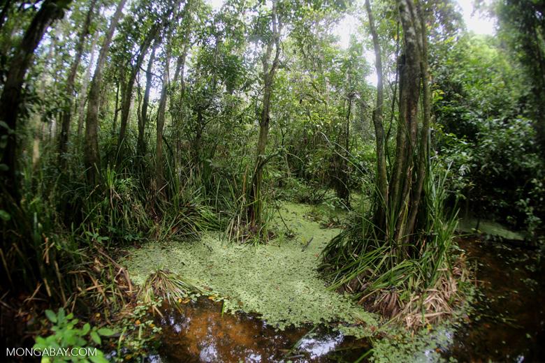 Peat swamp in Malaysia.