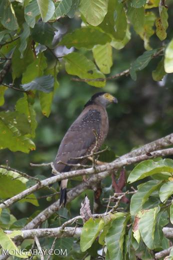Crested Serpent Eagle (Spilornis cheela) -- sabah_3817