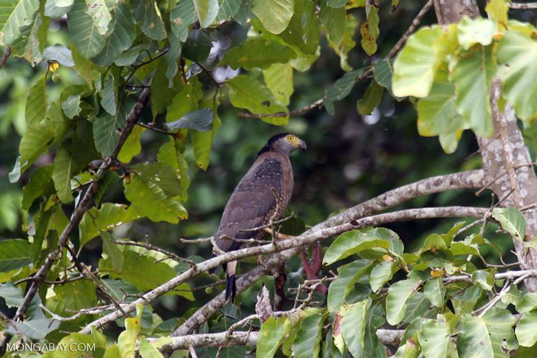 Crested Serpent Eagle (Spilornis cheela) -- sabah_3819
