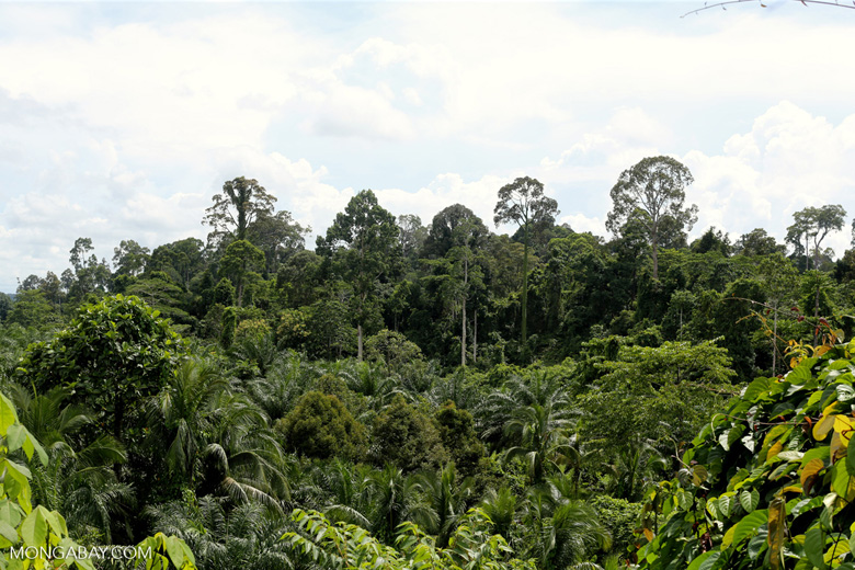 Oil palm plantation and forest in Borneo -- sabah_3829