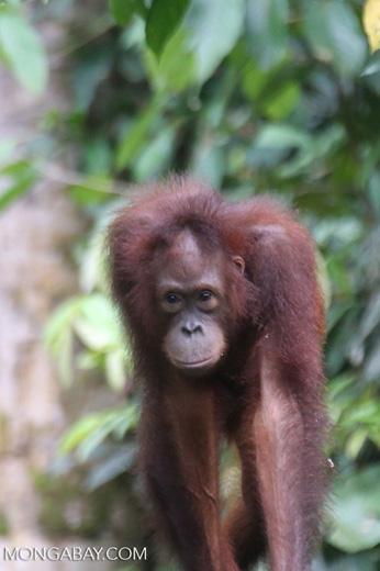Borneo orangutan -- sabah_3854