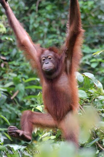 Borneo orangutan at Sepilok Rehabilitation Center -- sabah_3864