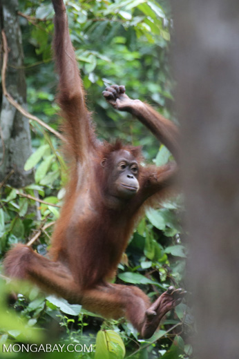 Borneo orangutan -- sabah_3866