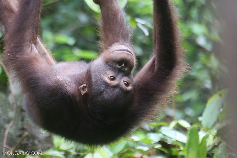 Borneo orangutan -- sabah_3869