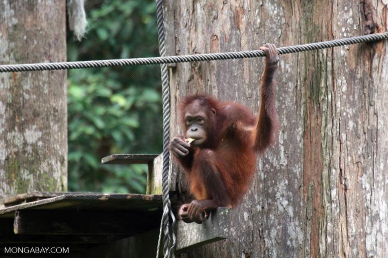 Borneo orangutan at Sepilok Rehabilitation Center -- sabah_3875