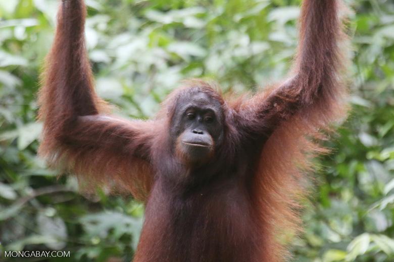 Borneo orangutan at Sepilok Rehabilitation Center -- sabah_3890