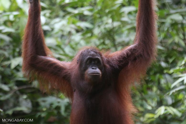 Borneo orangutan at Sepilok Rehabilitation Center -- sabah_3891