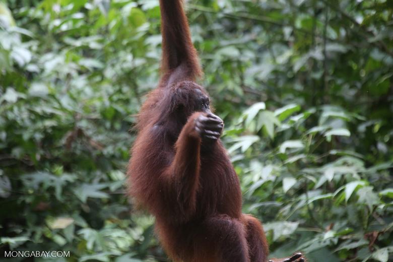 Borneo orangutan at Sepilok Rehabilitation Center -- sabah_3893