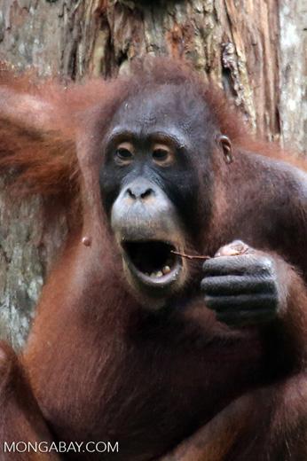 Borneo orangutan at Sepilok Rehabilitation Center -- sabah_3902