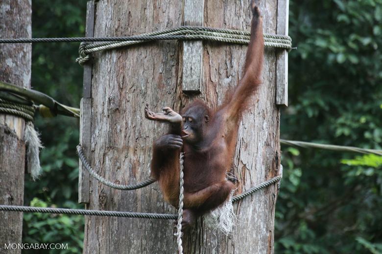 Borneo orangutan at Sepilok Rehabilitation Center -- sabah_3912