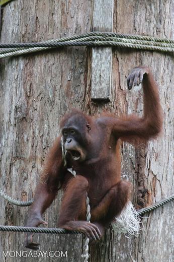 Borneo orangutan at Sepilok Rehabilitation Center -- sabah_3917