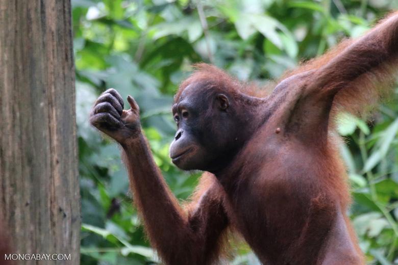 Borneo orangutan at Sepilok Rehabilitation Center