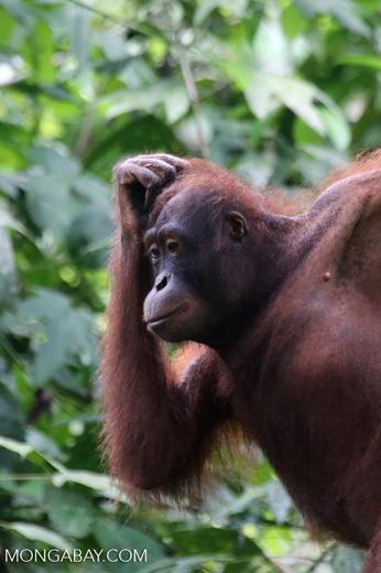 Borneo orangutan at Sepilok Rehabilitation Center -- sabah_3923