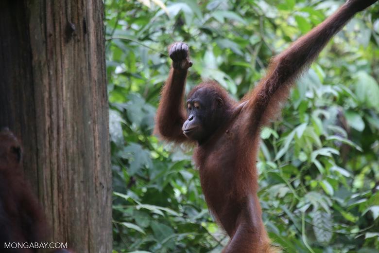Borneo orangutan at Sepilok Rehabilitation Center -- sabah_3925