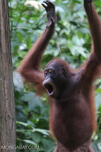 Borneo orangutan at Sepilok Rehabilitation Center -- sabah_3928