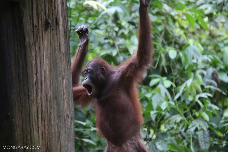 Borneo orangutan at Sepilok Rehabilitation Center -- sabah_3929