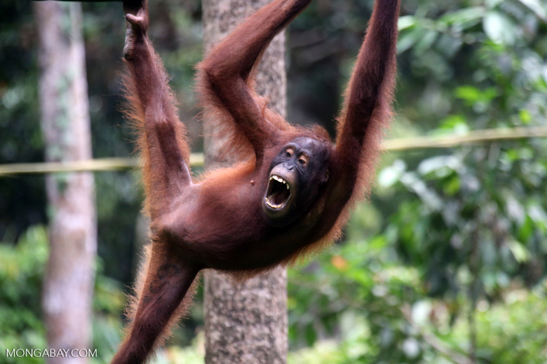 Borneo orangutan at Sepilok Rehabilitation Center -- sabah_3932