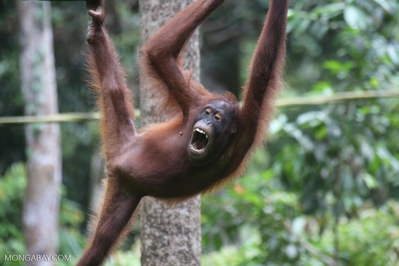 Borneo orangutan at Sepilok Rehabilitation Center -- sabah_3933