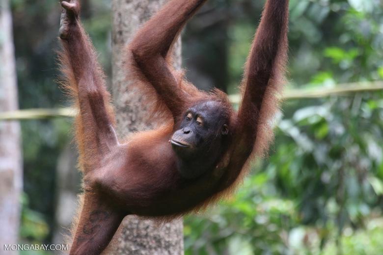 Borneo orangutan at Sepilok Rehabilitation Center -- sabah_3934