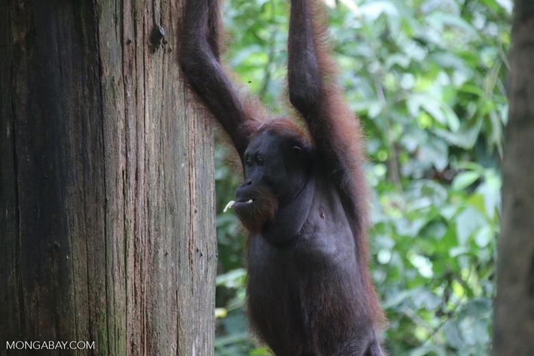 Borneo orangutan at Sepilok Rehabilitation Center -- sabah_3942