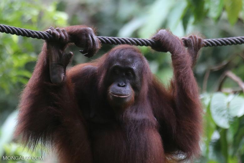 Borneo orangutan at Sepilok Rehabilitation Center -- sabah_3944