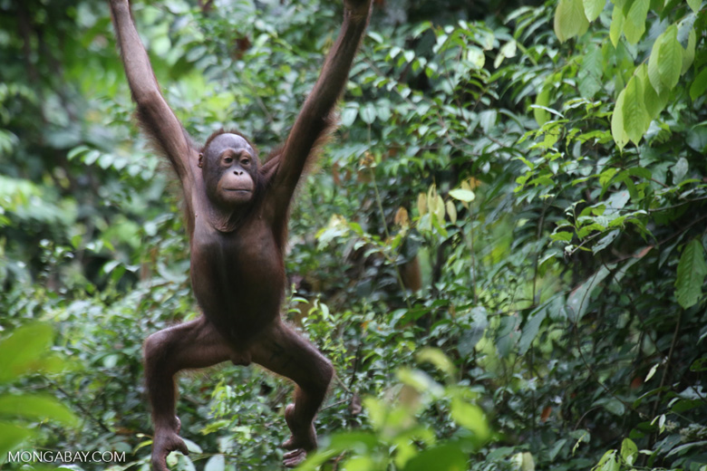 Borneo orangutan at Sepilok Rehabilitation Center -- sabah_3949