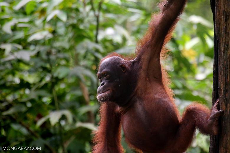 Borneo orangutan at Sepilok Rehabilitation Center -- sabah_3953