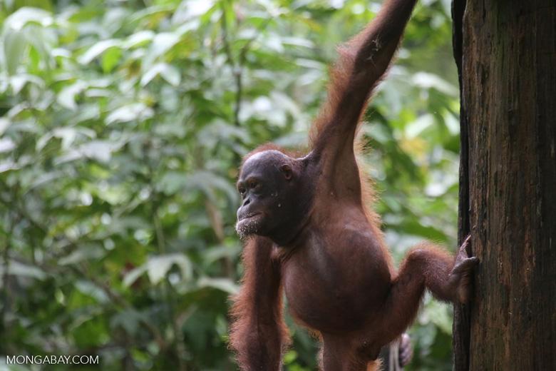 Borneo orangutan at Sepilok Rehabilitation Center -- sabah_3954