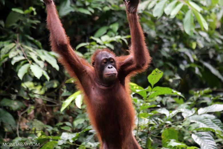 Borneo orangutan at Sepilok Rehabilitation Center -- sabah_3955