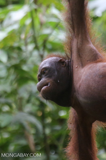 Borneo orangutan at Sepilok Rehabilitation Center -- sabah_3962