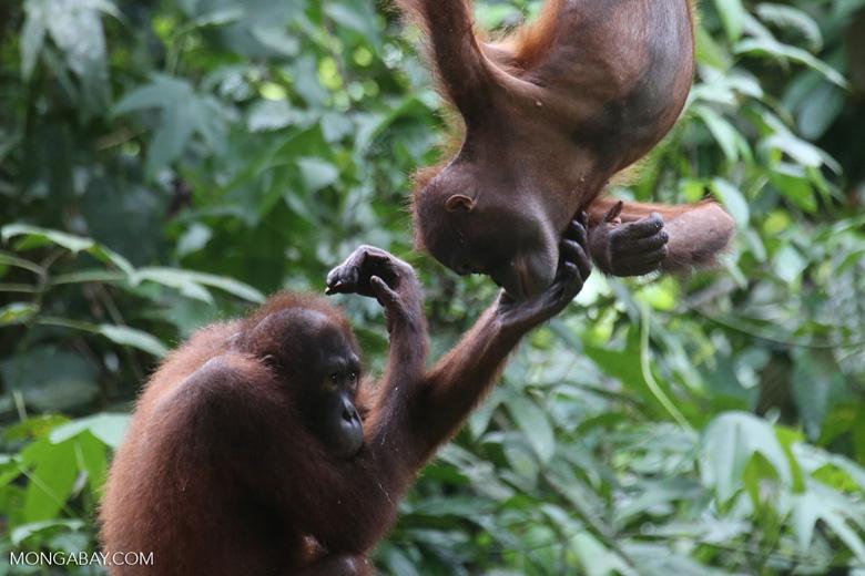 Pair of orphaned orangutans -- sabah_3965