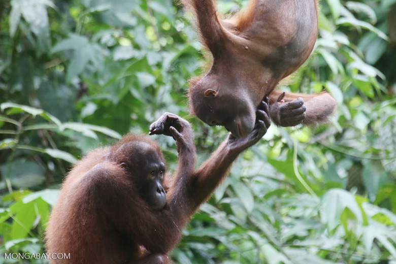 Pair of orphaned orangutans -- sabah_3966