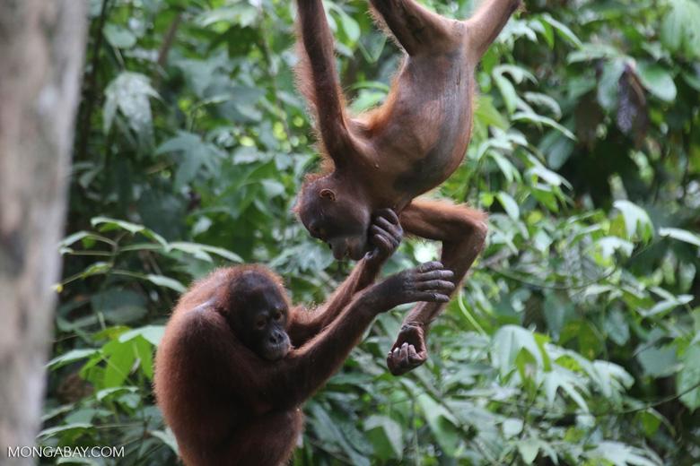 Pair of orphaned orangutans -- sabah_3971