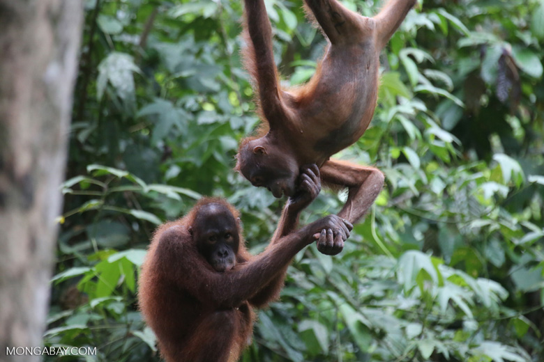 Pair of orphaned orangutans -- sabah_3974