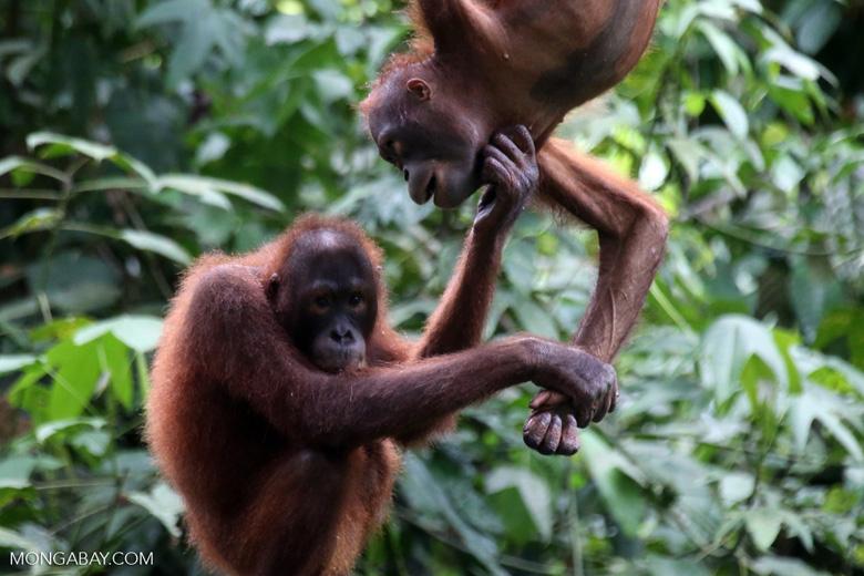 Pair of orphaned orangutans -- sabah_3977
