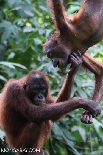 Pair of orphaned orangutans -- sabah_3978