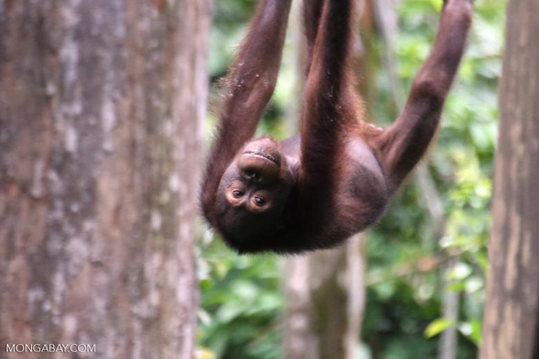 Borneo orangutan at Sepilok Rehabilitation Center -- sabah_3984