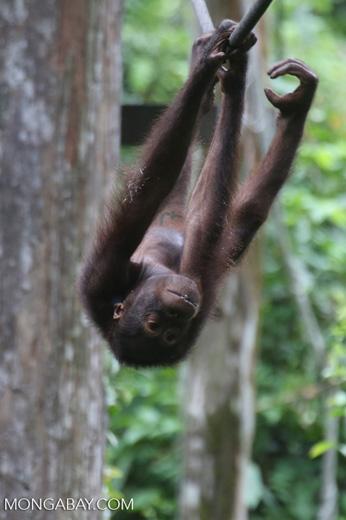 Borneo orangutan at Sepilok Rehabilitation Center -- sabah_3985