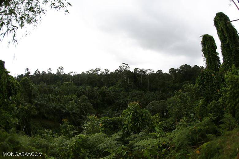 Oil palm vs rain forest -- sabah_4016