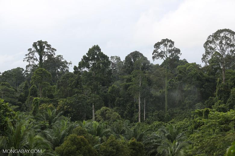 Oil palm vs rainforest -- sabah_4036