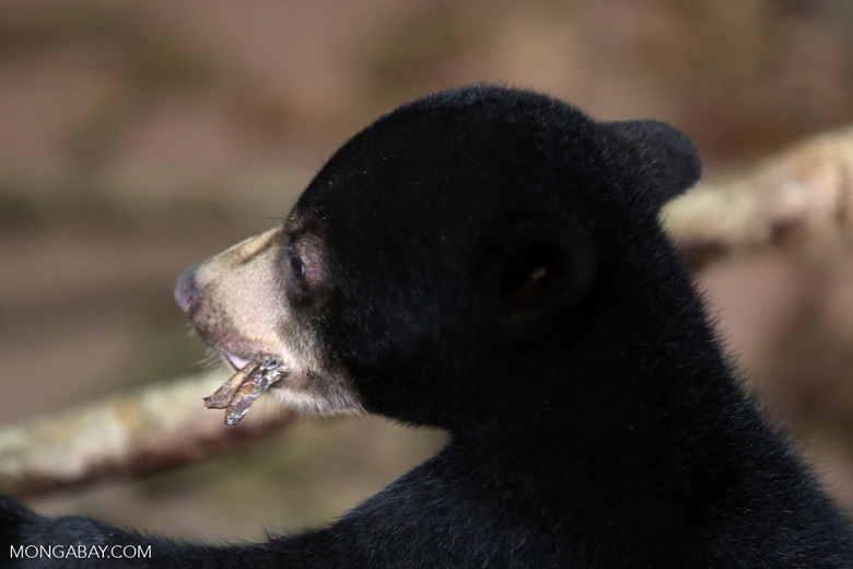 Baby sun bear at a rehabilitation center -- sabah_4051