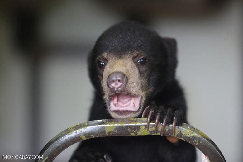 Baby sun bear at a rehabilitation center -- sabah_4052