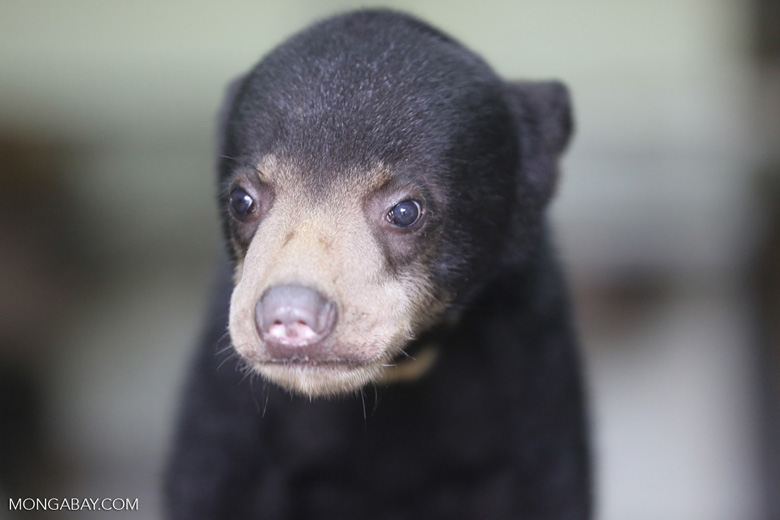 Baby sun bear at a rehabilitation center -- sabah_4055