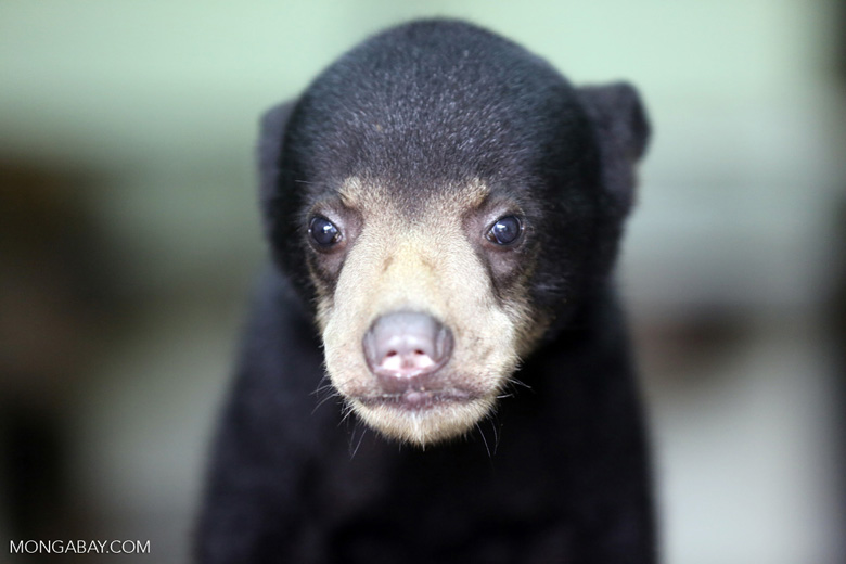 Baby sun bear at a rehabilitation center -- sabah_4057