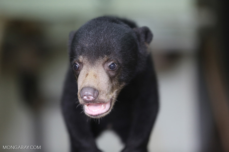 Baby sun bear at a rehabilitation center