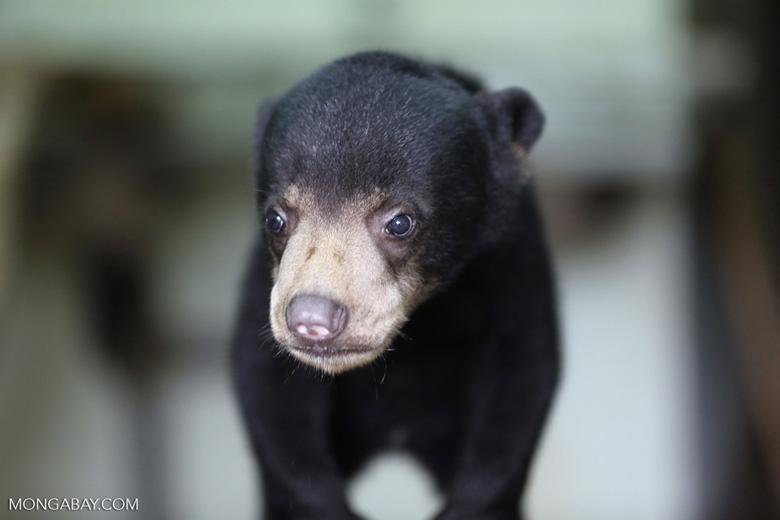 Baby sun bear at a rehabilitation center -- sabah_4063