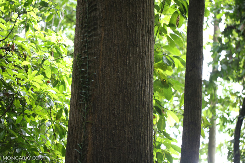 Dipterocarps in the Borneo rainforest