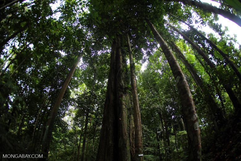 Ulin in the Borneo rainforest