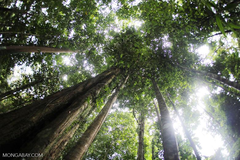 Borneo ironwood or ulin (Eusideroxylon zwageri) in the Borneo rainforest